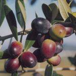 1.olivo-leccino_NG3