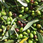 2.olivo-coratina_NG4