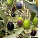 3.olivo-frantoio