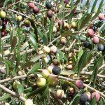 4.olivo-cima di melfi