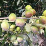5.olivo-fs17favolosa