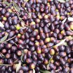 6.olivo minerva