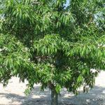 5ª-Penta-árbol