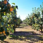 pdo-spanish-persimon-orchard-provided-by-kerstin-rodgers