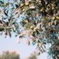 Varietà Olivo Autofertile Resistente al Freddo