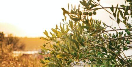 Le Varietà di Olivo più Resistenti al Freddo