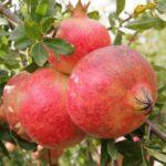 melagrana-mollar-di-elche-Dalmonte-Anticopomario-piante-da-frutto-online