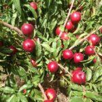 Atanais-fantastique-AA-un-peu-avant-la-56-arbre-plus-vigoureux-lisse-brillant-ferme-sub-4